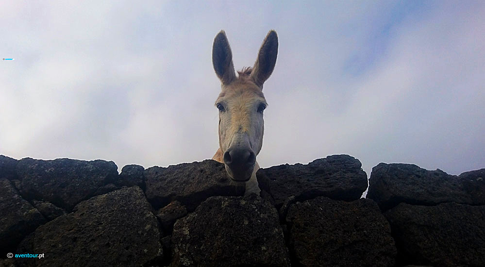 Endemic Donkey of Graciosa Island - Azores
